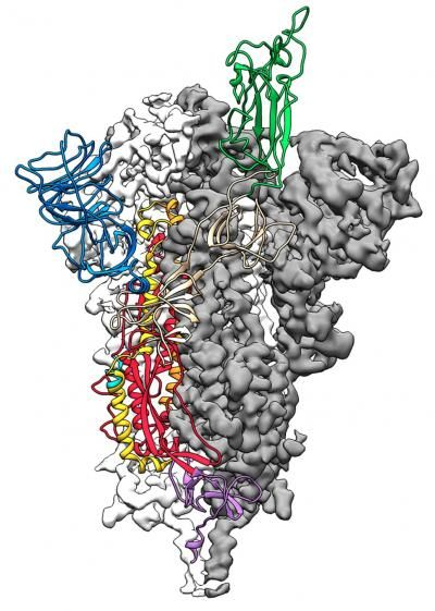3D atomic scale map or molecular structure of the SARS-2-CoV protein spike