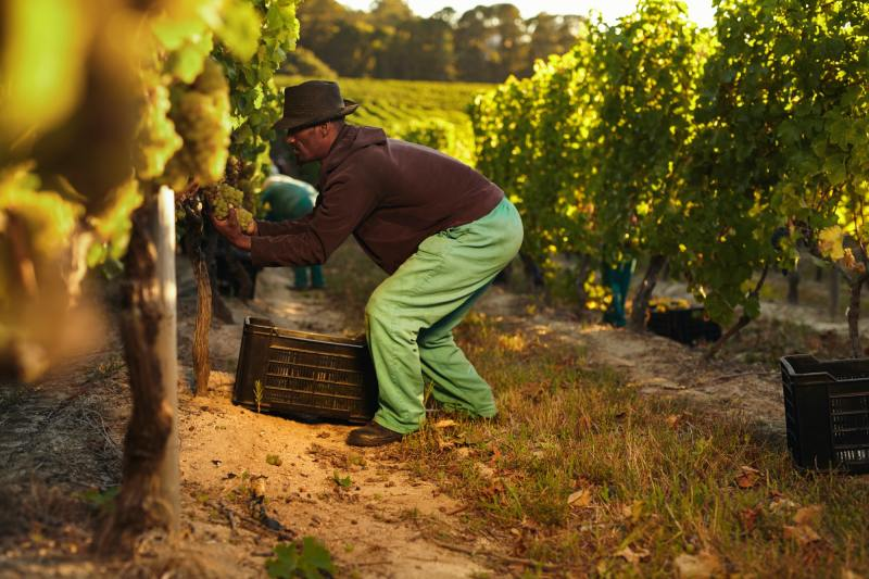 Worker working in vineyard