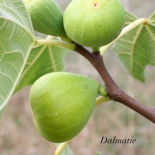 Dalmatie FA 3