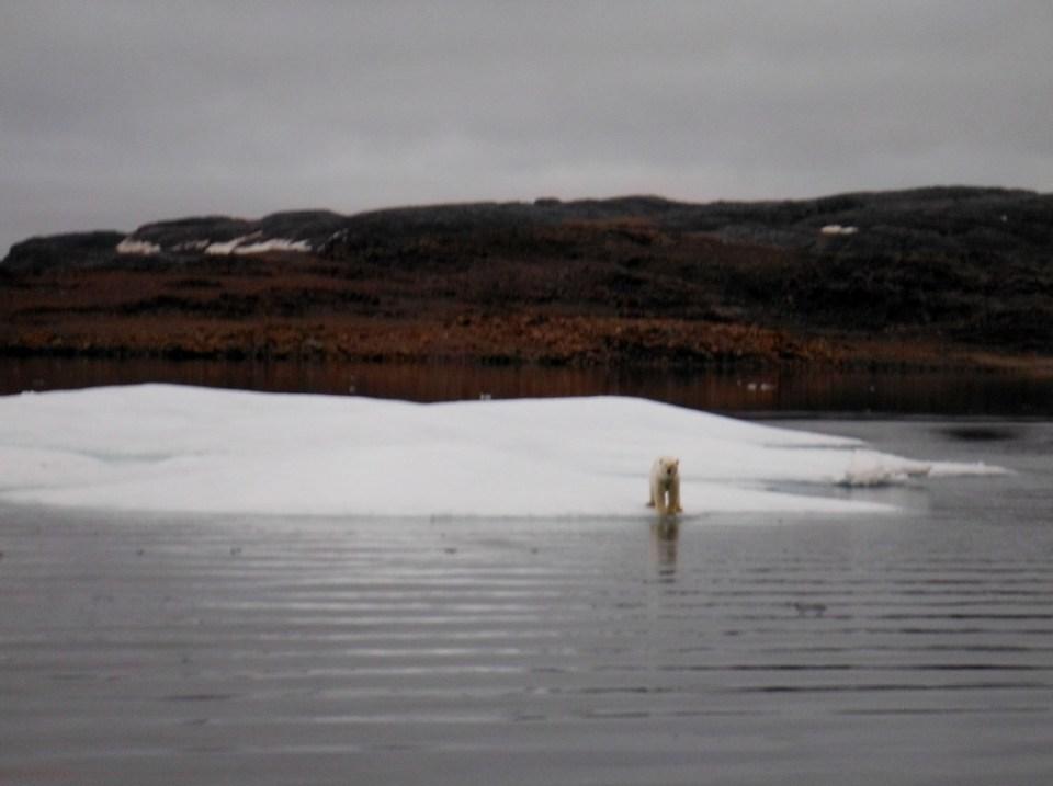Polar Bear on ice sheet outside Levesque Harbor.