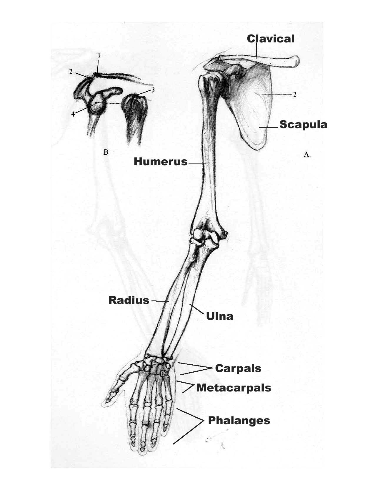 Images About Drawing Tutorials The Human Skeleton