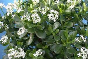 tolstanka frunze cu varicoză