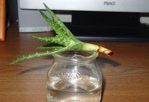 Выращивание алоэ без корня