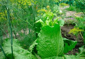 Выращивание пекинской капусты в теплице посадка популярные сорта
