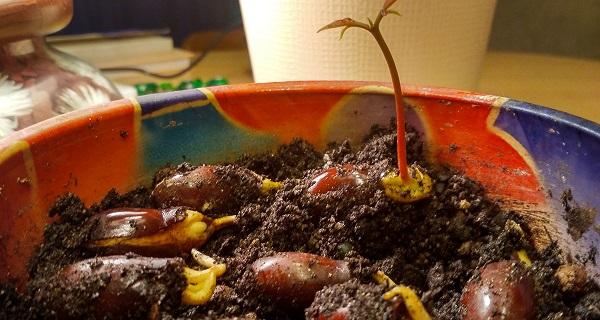 Er det muligt at vokse hjem fra knogle
