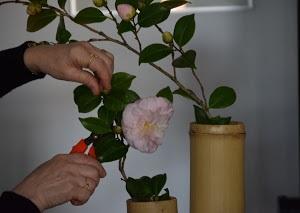 камелия цветок фото комнатное растение