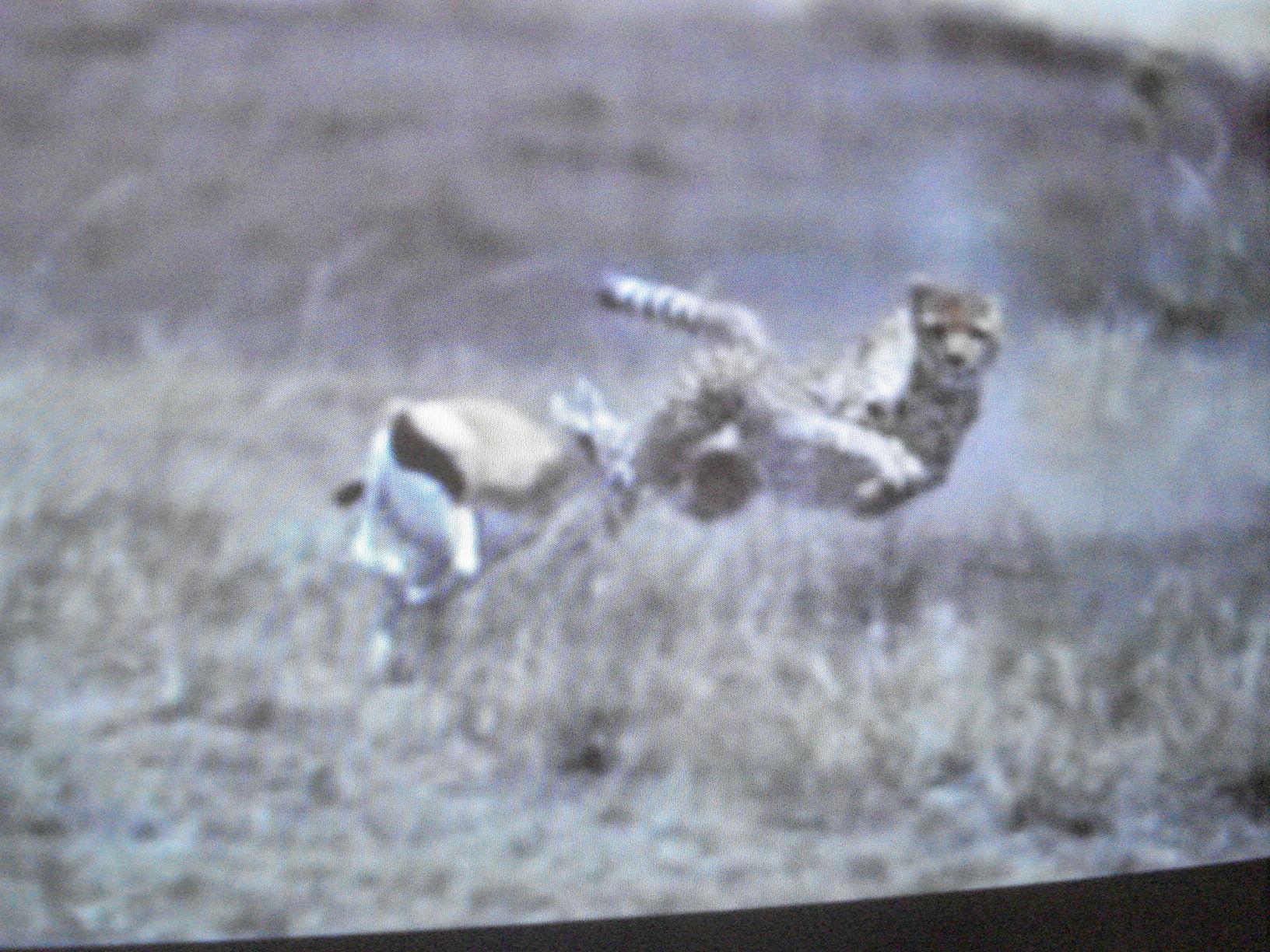 Espectaculares saltos en la desesperada carrera de predador y presa.