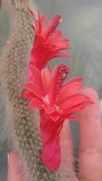 Colita de mono en flor