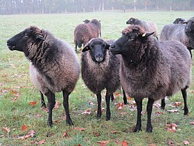 noir du jura race mouton laine