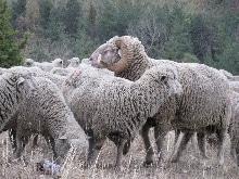 mouton merinos d'arles