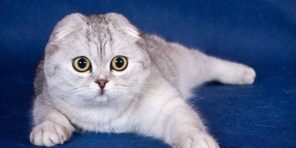 cac-giong-meo-3 Các giống mèo được ưa chuộng nhất tại Việt Nam 2021