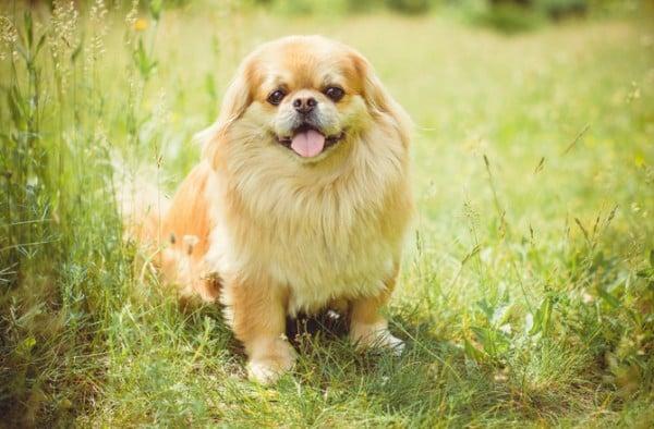 Top 8 giống chó Chó mặt xệ được yêu thích nhất 2021 2