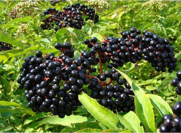 Elderberry (Elderberries) là gì – CÔNG TY CỔ PHẦN DINH DƯỠNG FIDINEST