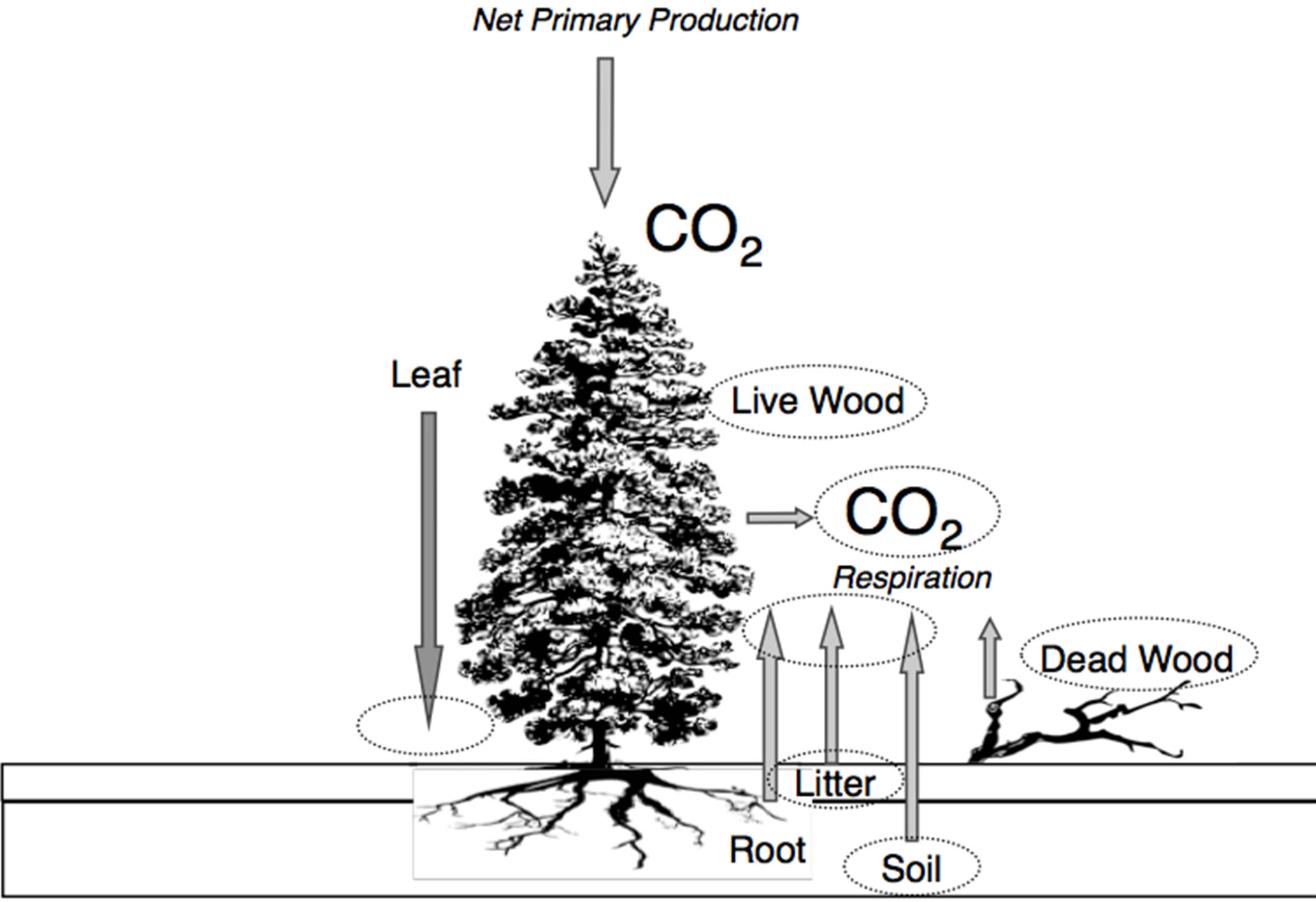 Net Primary Production And Carbon Cycling In Coast Redwood