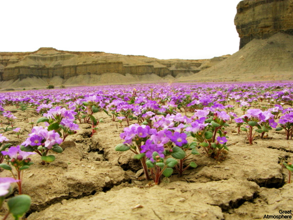 Beautiful flowers of desert  page 1 An harsh environment where beauty can be found untouched in her wildness