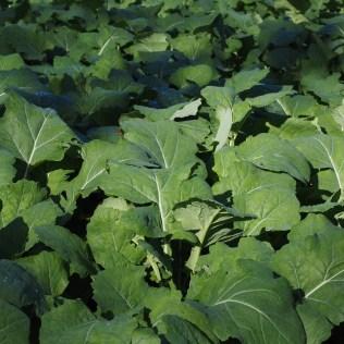 Adubação verde incentiva a produtividade do agronegócio