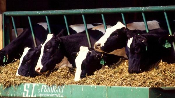 Holstein frísia ganha destaque no mundo agro por produção leiteira
