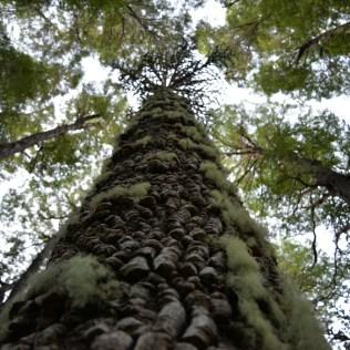 Araucária: a contribuição da árvore para a diversidade do ecossistema