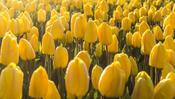 Bulbos e a sua importância para o desenvolvimento das plantas