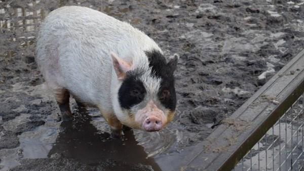 Chiqueiro: popular no Brasil, é o local onde os porcos ficam localizados