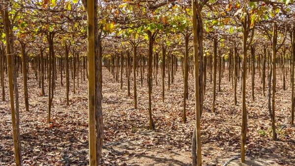 Irrigação por gotejamento: conheça as vantagens e desvantagens do método preferido dos agricultores