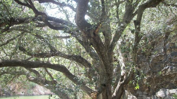 Oiticica é planta brasileira que possui inúmeros benefícios