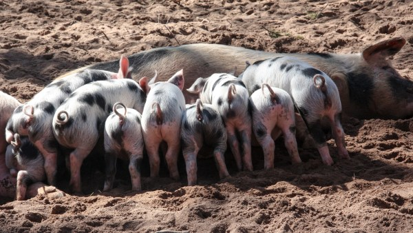 Suínos e as vantagens da sua criação para o agronegócio no Brasil