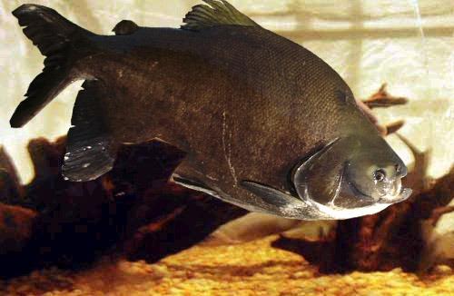 Tambacu e sua popularidade entre os pesqueiros da região Sudeste