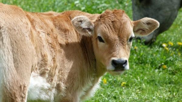 Vitela é carne de bezerro com popularidade notável no Brasil