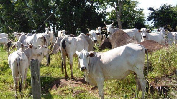Clostridium e o impacto da clostridiose nos rebanhos da agropecuária