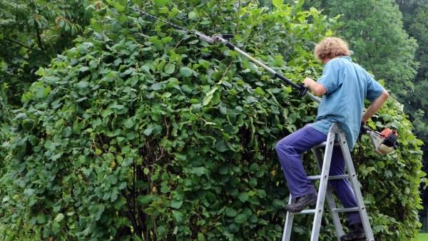 Técnicas de despontar auxiliam no desenvolvimento das plantas