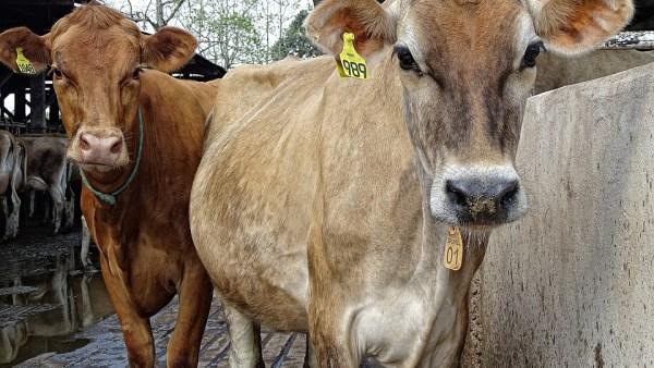 Gado jersey se destaca na pecuária por sua produção leiteira