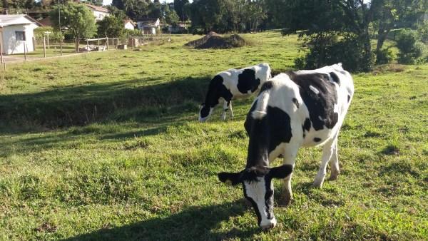 Heterose é importante para o desenvolvimento da pecuária