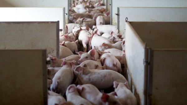 Teníase é transmitida pela ingestão de carne contaminada mal cozida