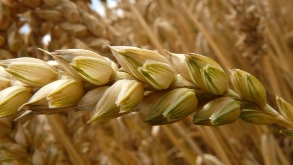 Cevada destaca vantagens para a saúde e o mercado agro