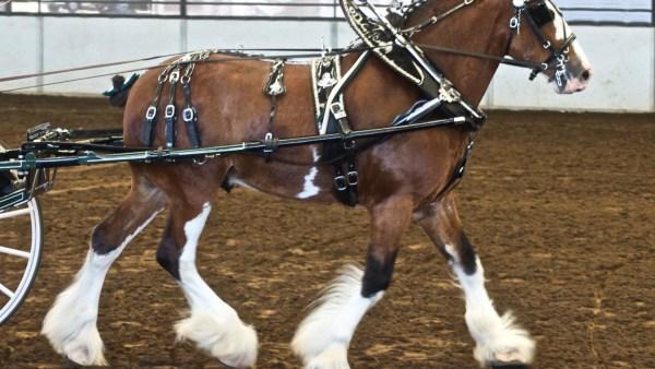 Clydesdale é um cavalo exótico que já esteve ameaçado de extinção