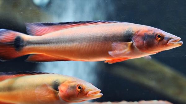 Jacundá é um peixe que encanta pela beleza de suas cores