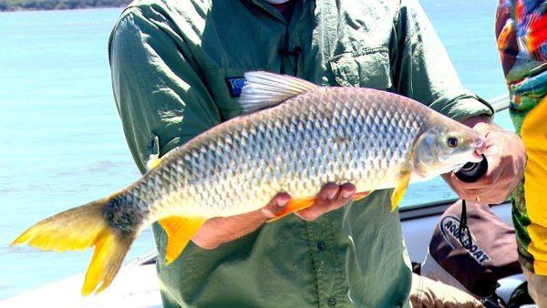 Piapara é peixe valorizado na pescaria e piscicultura
