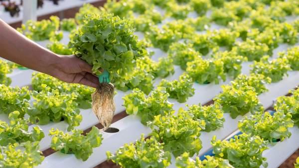 Hidroponia é sistema de cultivo que economiza recursos e investimentos