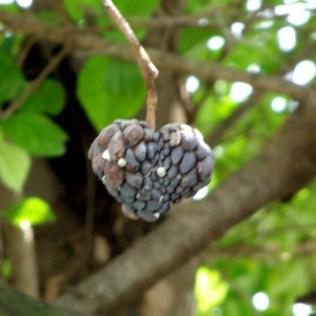 Atemoia é fruta pouco conhecida que surpreende pelos benefícios