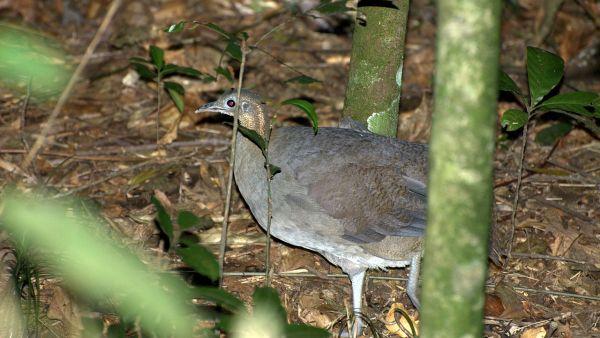 Macuco é uma ave brasileira ameaçada de extinção