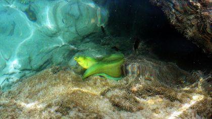 Moreia é peixe de aparência estranha e carne saborosa