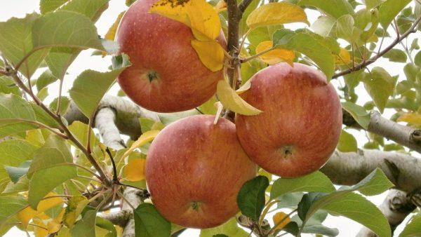 Árvores frutíferas geram frutos que impulsionam a economia