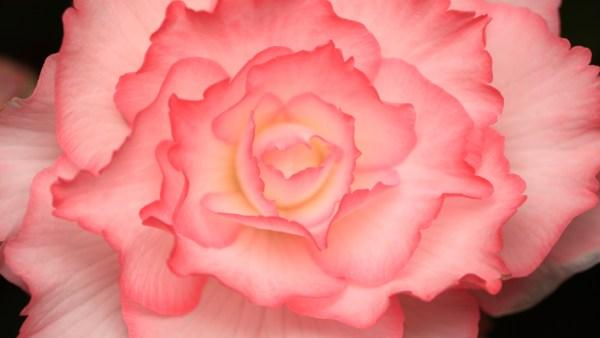 Begônia é planta ornamental muito utilizada em jardins e paisagens