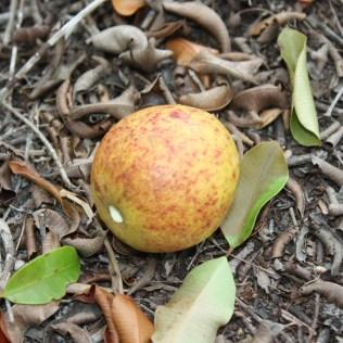Mangaba é uma deliciosa fruta tipicamente brasileira