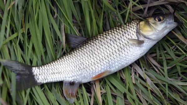 Tainha é um peixe saboroso e de baixo custo