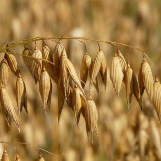 Aveia é importante na produção de grãos do Brasil
