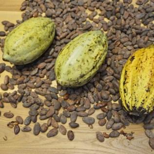 Cacau é fruto repleto de nutrientes e de grande produção brasileira
