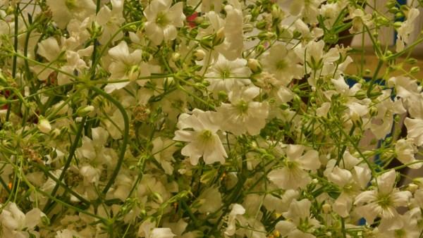 Gipsofila é uma das flores mais conhecidas e utilizadas no Brasil