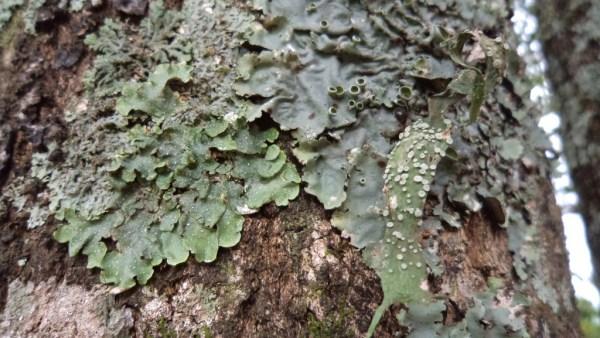 Líquens são formados pela simbiose entre uma alga e um fungo
